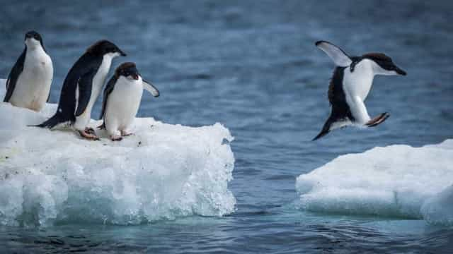 Pinguins do tamanho do homem habitaram na Nova Zelândia na pré-história