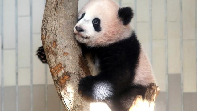 Novo bebé panda do zoo de Tóquio apareceu pela primeira vez em público