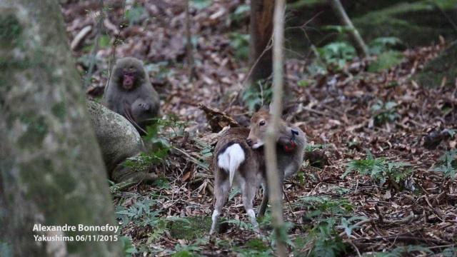 Macaco apanhado a acasalar com veado. Cientistas creem ser nova tendência