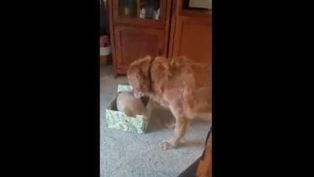 Qual a melhor prenda para dar a um cão no Natal? Outro cão