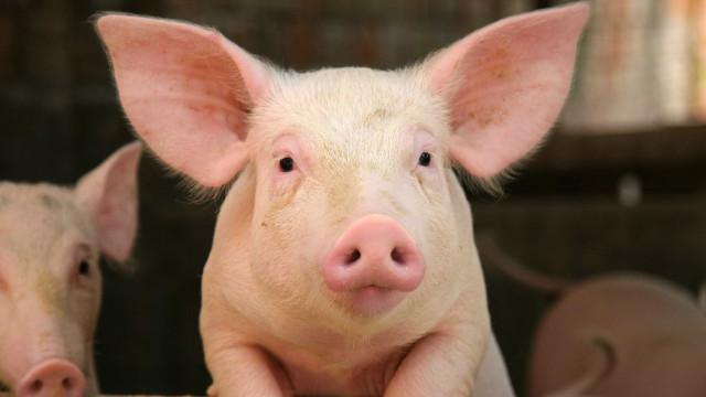 Porco nasce com cara de humano e tromba de elefante