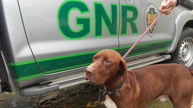Cão furtado em Montemor-o-Velho foi encontrado em casa de Sintra