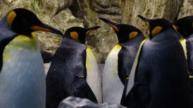 Está tanto frio no Canadá que até os pinguins não saem à rua