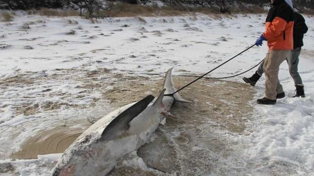 Dois tubarões deram à costa congelados nos Estados Unidos