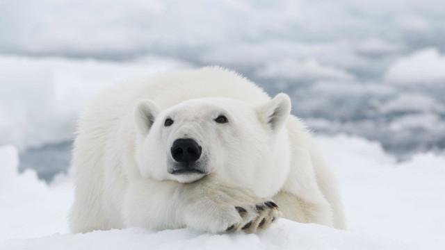 Urso polar abatido depois de ter atacado homem na Noruega