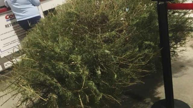 Voltou em janeiro para devolver árvore de Natal porque estava a secar