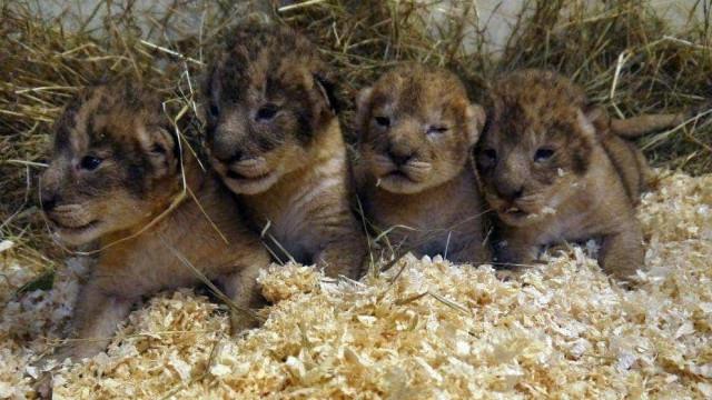 Zoo admite ter matado nove crias de leão saudáveis
