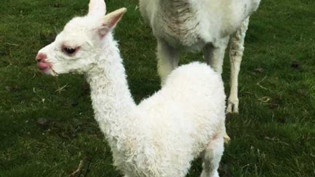 Três alpacas espancadas até à morte em quinta em Inglaterra