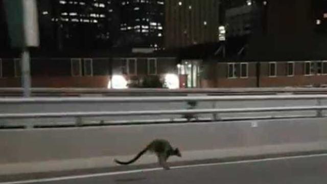 Polícia australiana persegue canguru na ponte de Sydney