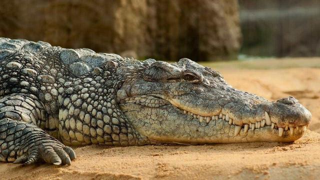 Polícia russa tem encontro inesperado com... crocodilo