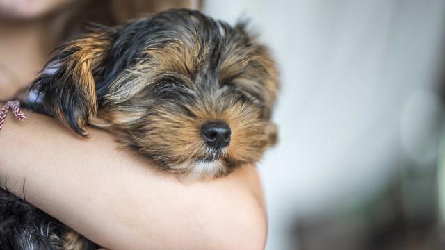Ladrão afugentado por pequeno e temível cão no Reino Unido