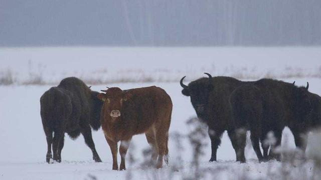Esta vaca fugiu de casa para ir viver com uma manada de bisontes
