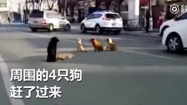 Cães permanecem ao lado de amigo morto. Há maior prova de amizade?