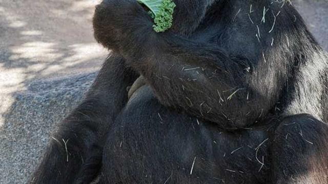 Morreu Vila, uma das gorilas mais velhas do mundo