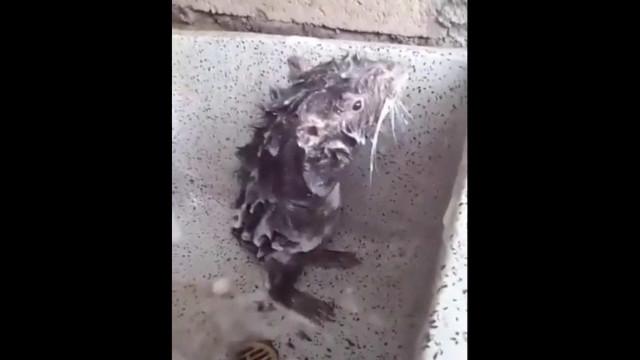 Vídeo de rato a tomar banho como um humano torna-se viral