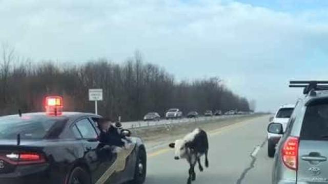 Agente faz marcha-atrás em autoestrada para parar vaca que andava à solta