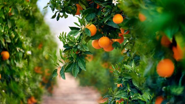 Idosa de 75 anos caiu de uma laranjeira. Acabou por morrer no hospital