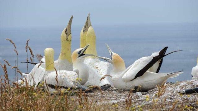 Nigel, o alcatraz, morreu como viveu, sozinho rodeado de aves de cimento