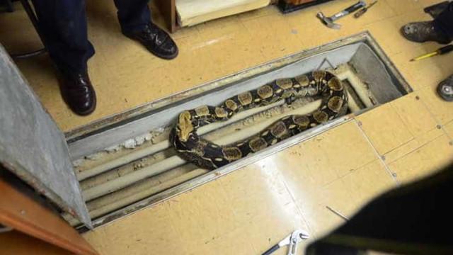 Cobra com mais de dois metros foge em escola dos Estados Unidos