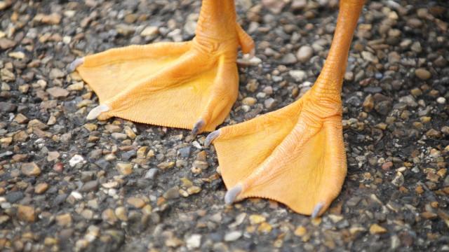 Pato morre à fome devido a argola de plástico que lhe prendeu o bico