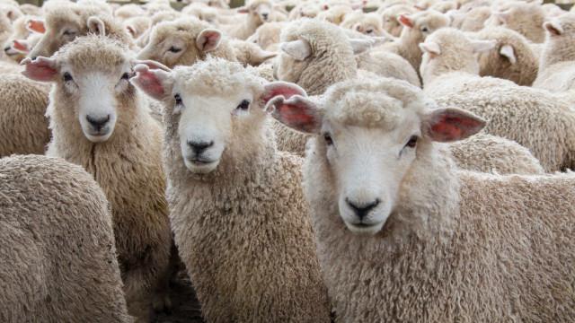 Deram à costa, em Lisboa, duas ovelhas, denuncia PATAV