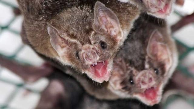 Morcegos ajudam agricultores a combater pragas de insetos no Alqueva