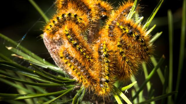 Sabe que sintomas a lagarta do pinheiro pode provocar?