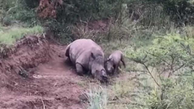 Bebé rinoceronte esfomeado tenta acordar mãe morta por caçadores furtivos