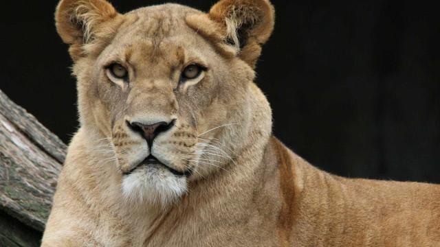 Jovem atacada por leoa morre na África do Sul