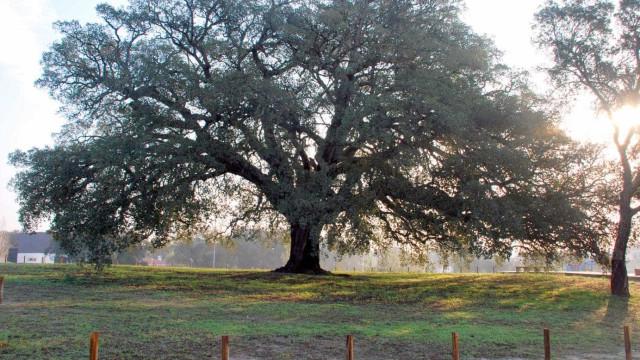 Sobreiro Assobiador vence concurso de Árvore Europeia do Ano