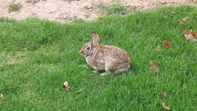 Nova Zelândia vai libertar vírus para reduzir número de coelhos