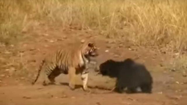 Tigre desafia ursa para uma luta numa reserva natural da Índia