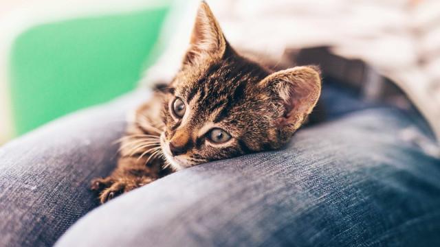 É por isso que o seu gato o 'massaja'