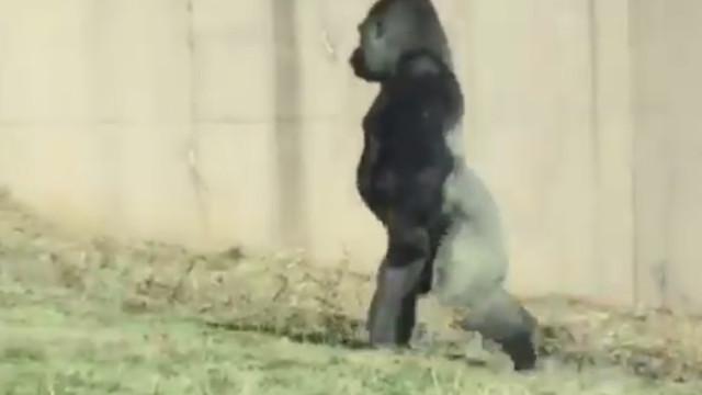 Este gorila anda em duas patas porque não gosta de sujar as mãos
