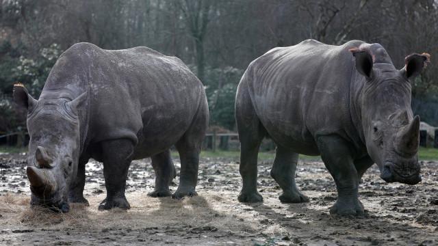 Morreu o último rinoceronte-branco do norte macho