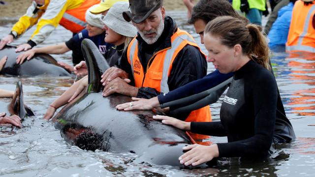 Voluntários salvam cinco das 150 baleias encalhadas na Austrália