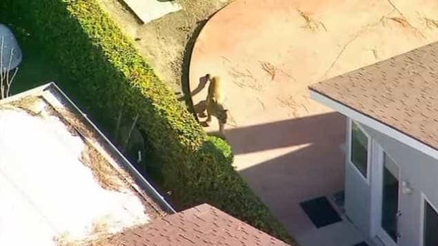 Leão-da-montanha filmado a andar em pacato bairro na Califórnia