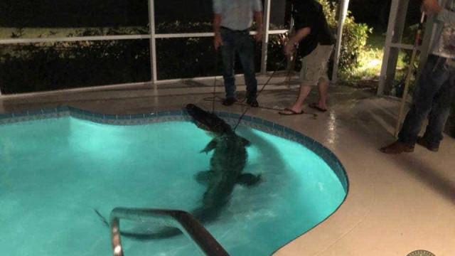 Um convidado inesperado (de mais de 3,5 metros) na piscina de casa