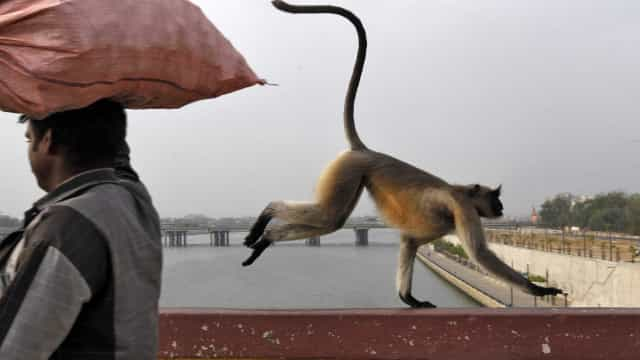 Índia: Bebé encontrado morto depois de ser raptado por um macaco