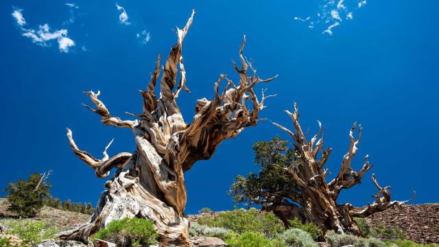 Milenares: Veja as árvores mais velhas do mundo
