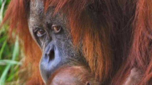 Orangotango fêmea foi usado como prostituta na Indonésia