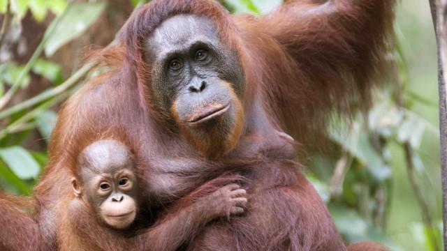 SABIA QUE a mãe orangotango constrói todas as noites um ninho diferente?