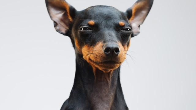 O seu cão pode mentir-lhe se assim entender… diz novo estudo