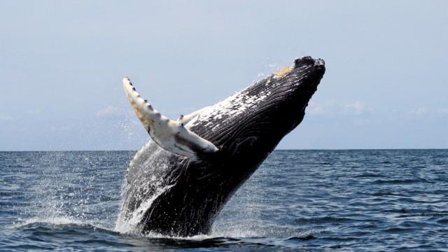 """Ativistas ambientais denunciam """"prisão de baleias"""" na Rússia"""