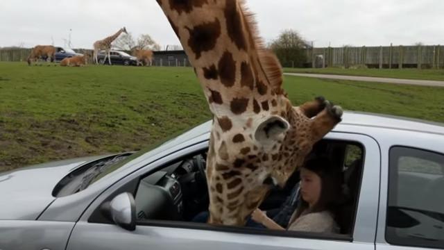 Girafa mete 'o nariz onde não é chamada' e provoca estragos