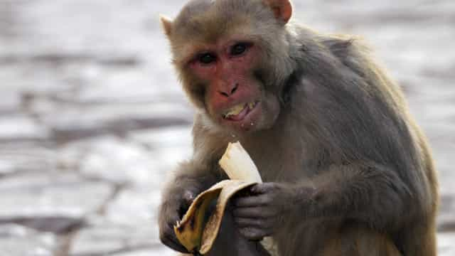 SABIA QUE tal como os humanos, os macacos podem ficar carecas na velhice?