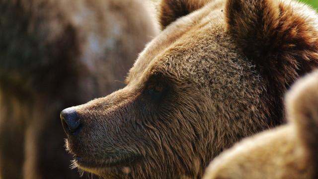 Biólogos matam urso em vias de extinção por acidente