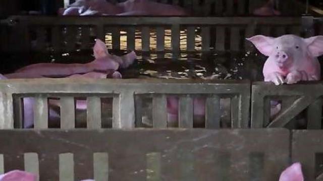 Pelo menos mil porcos morreram afogados depois de rio invadir quinta