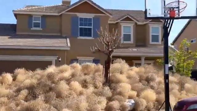 """Bolas gigantes de ervas daninhas atacam: """"É definitivamente uma invasão"""""""