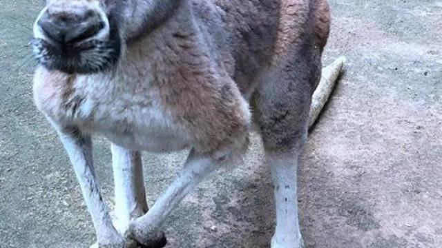 Canguru morre depois de visitantes de Zoo lhe atirarem tijolos